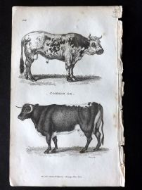 Shaw 1800 Antique Print. Common Ox. Cattle